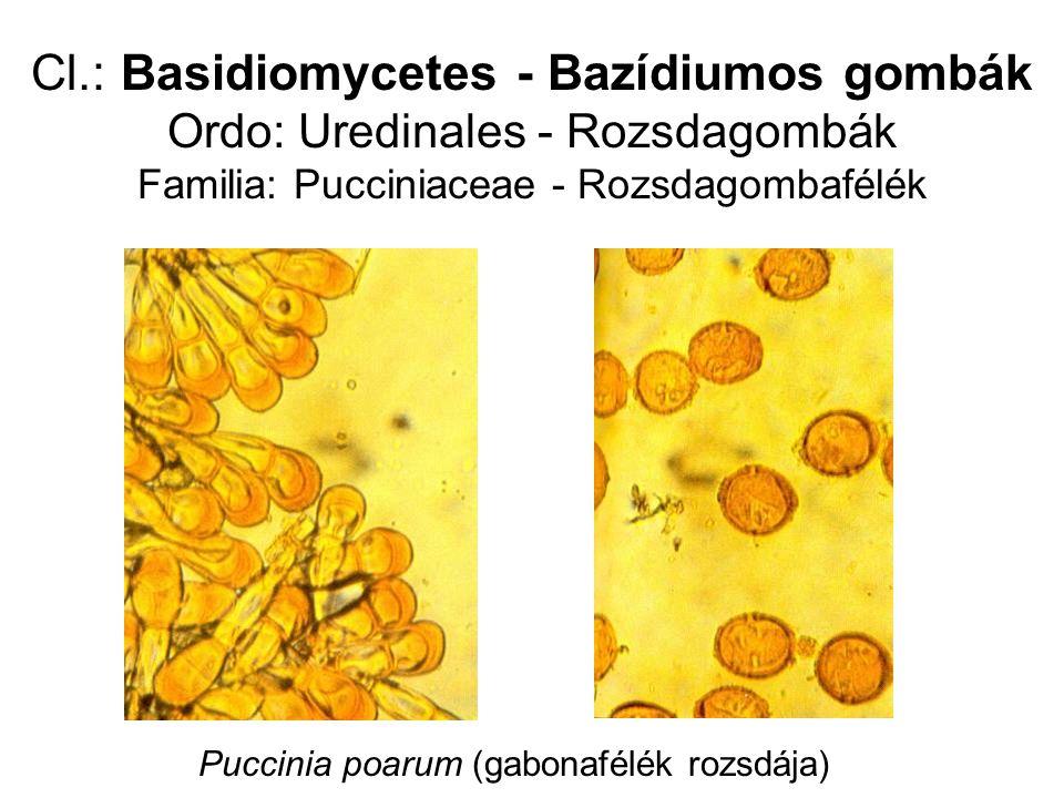 Cl.: Basidiomycetes - Bazídiumos gombák Ordo: Uredinales - Rozsdagombák Familia: Pucciniaceae - Rozsdagombafélék Puccinia poarum (gabonafélék rozsdája)