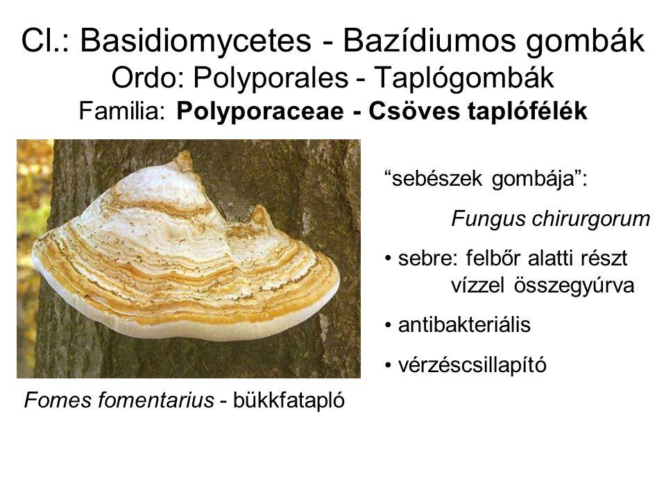 Cl.: Basidiomycetes - Bazídiumos gombák Ordo: Polyporales - Taplógombák Familia: Polyporaceae - Csöves taplófélék Fomes fomentarius - bükkfatapló sebészek gombája : Fungus chirurgorum sebre: felbőr alatti részt vízzel összegyúrva antibakteriális vérzéscsillapító