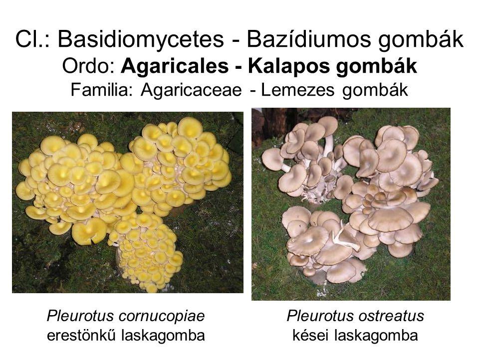 Cl.: Basidiomycetes - Bazídiumos gombák Ordo: Agaricales - Kalapos gombák Familia: Agaricaceae - Lemezes gombák Pleurotus cornucopiae erestönkű laskagomba Pleurotus ostreatus kései laskagomba