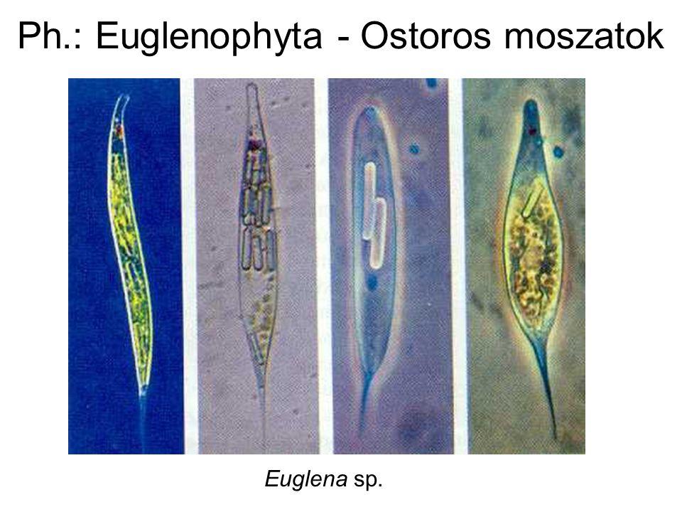 Ph.: Euglenophyta - Ostoros moszatok Euglena sp.