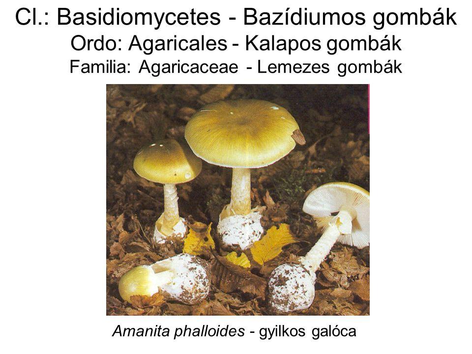 Cl.: Basidiomycetes - Bazídiumos gombák Ordo: Agaricales - Kalapos gombák Familia: Agaricaceae - Lemezes gombák Amanita phalloides - gyilkos galóca