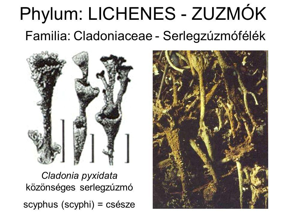 Phylum: LICHENES - ZUZMÓK Familia: Cladoniaceae - Serlegzúzmófélék Cladonia pyxidata közönséges serlegzúzmó scyphus (scyphi) = csésze