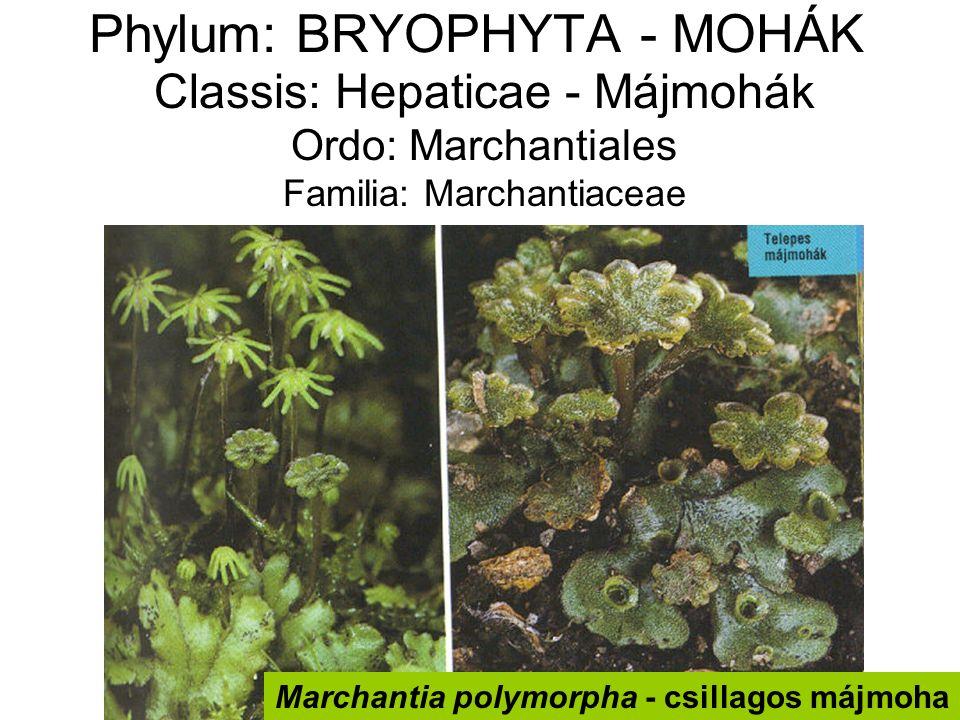 Phylum: BRYOPHYTA - MOHÁK Classis: Hepaticae - Májmohák Ordo: Marchantiales Familia: Marchantiaceae Marchantia polymorpha - csillagos májmoha