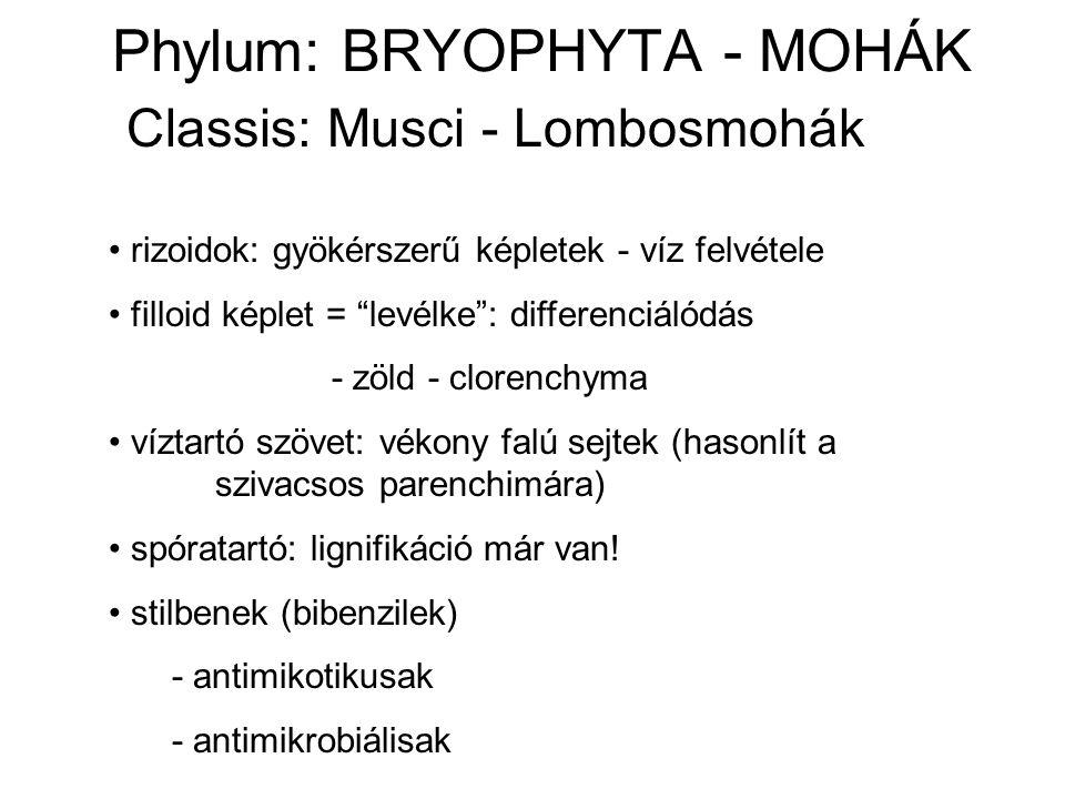 Phylum: BRYOPHYTA - MOHÁK Classis: Musci - Lombosmohák rizoidok: gyökérszerű képletek - víz felvétele filloid képlet = levélke : differenciálódás - zöld - clorenchyma víztartó szövet: vékony falú sejtek (hasonlít a szivacsos parenchimára) spóratartó: lignifikáció már van.