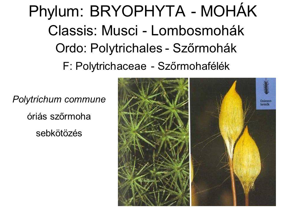 Phylum: BRYOPHYTA - MOHÁK Classis: Musci - Lombosmohák Ordo: Polytrichales - Szőrmohák F: Polytrichaceae - Szőrmohafélék Polytrichum commune óriás szőrmoha sebkötözés