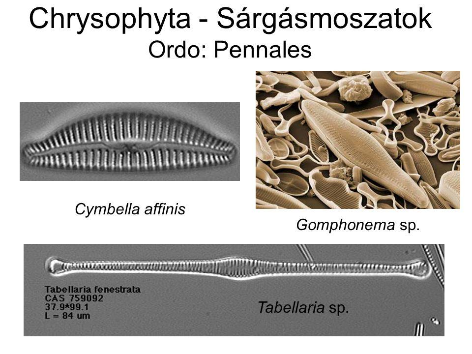 Chrysophyta - Sárgásmoszatok Ordo: Pennales Cymbella affinis Gomphonema sp. Tabellaria sp.