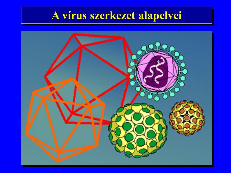 A hepatotróp vírusok nomenclaturája hepatitis A vírus (HAV) hepatitis B vírus (HBV) hepatitis C vírus (HCV) hepatitis D vírus (HDV) hepatitis E vírus (HEV) hepatitis G vírus (HGV) hepatitis A vírus (HAV) hepatitis B vírus (HBV) hepatitis C vírus (HCV) hepatitis D vírus (HDV) hepatitis E vírus (HEV) hepatitis G vírus (HGV)