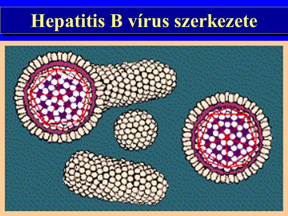 B vírus hepatitis Hepatitis B vírus: 42 nm DNS vírus Parenterálisan terjed Vérrel és vérkészítményekkel való átvitele bizonyos betegségekben gyakori Foglalkozási ártalom egészségügyi dolgozók között Sexualis terjedése bizonyított Hepatitis B vírus: 42 nm DNS vírus Parenterálisan terjed Vérrel és vérkészítményekkel való átvitele bizonyos betegségekben gyakori Foglalkozási ártalom egészségügyi dolgozók között Sexualis terjedése bizonyított