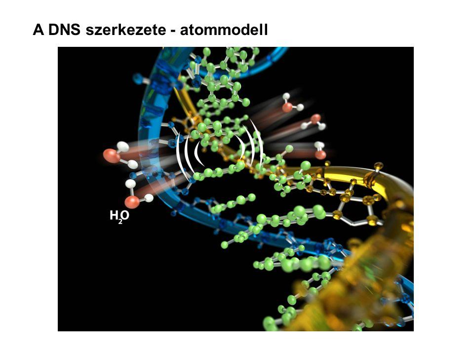 A DNS szerkezete - atommodell