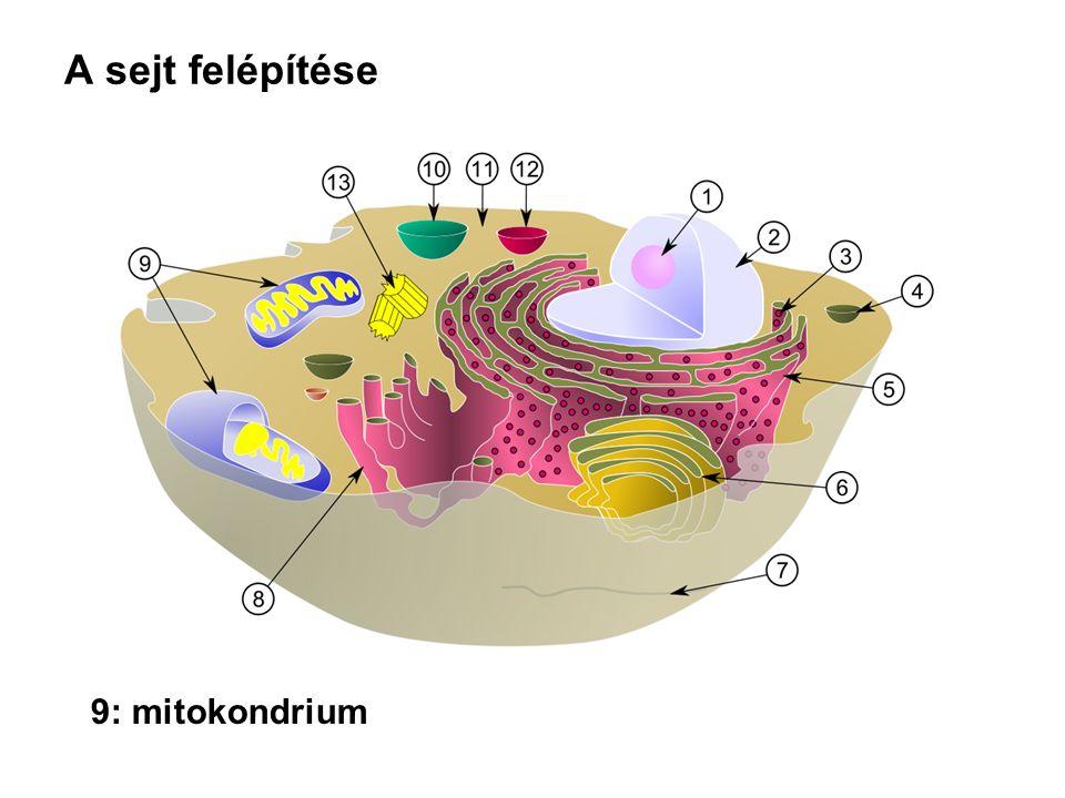 A sejt felépítése 9: mitokondrium