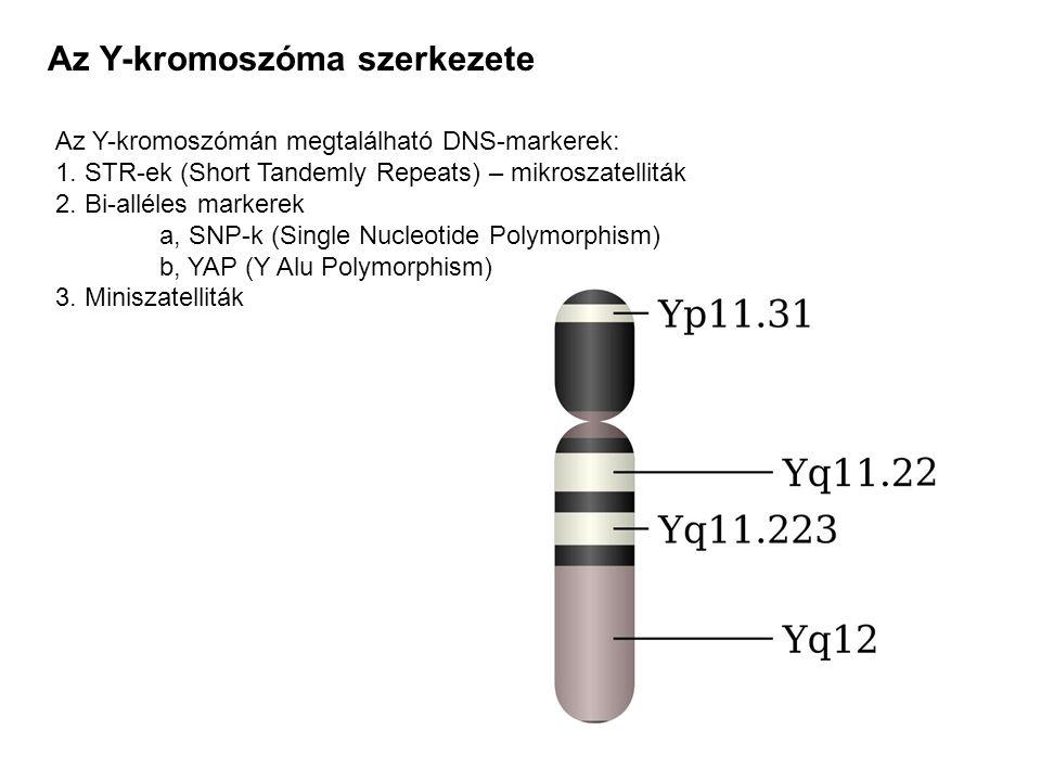 Az Y-kromoszóma szerkezete Az Y-kromoszómán megtalálható DNS-markerek: 1. STR-ek (Short Tandemly Repeats) – mikroszatelliták 2. Bi-alléles markerek a,
