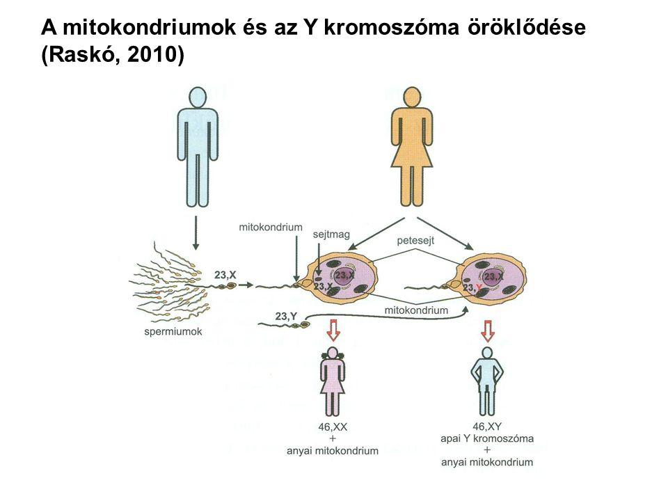 A mitokondriumok és az Y kromoszóma öröklődése (Raskó, 2010)