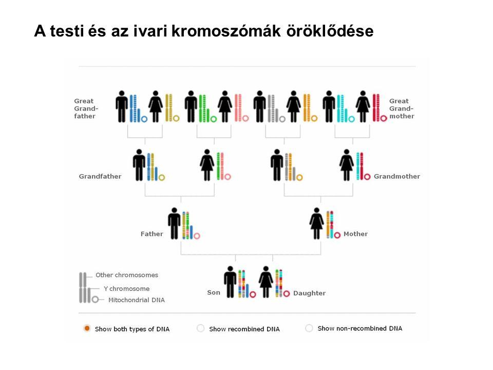 A testi és az ivari kromoszómák öröklődése