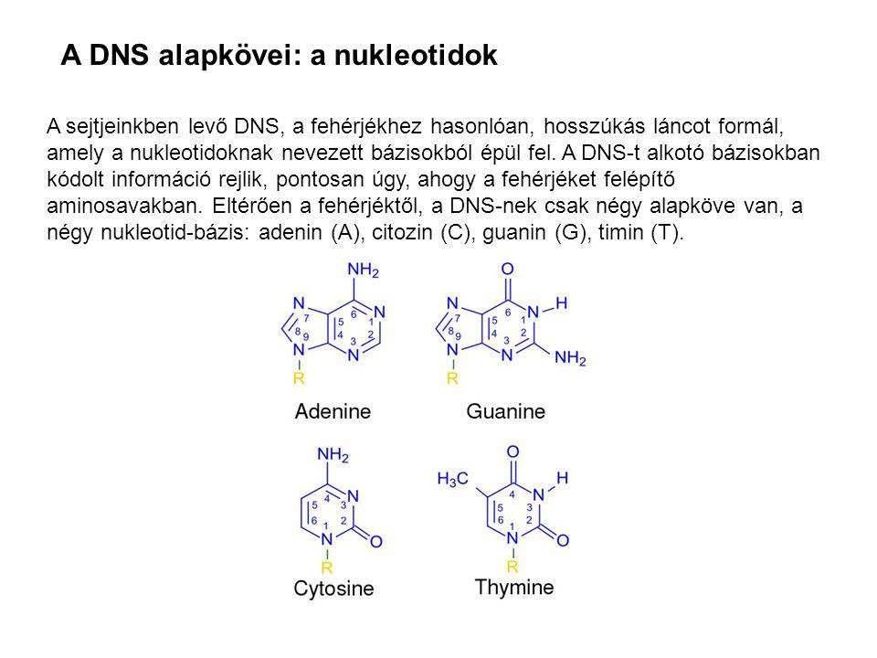 A sejtjeinkben levő DNS, a fehérjékhez hasonlóan, hosszúkás láncot formál, amely a nukleotidoknak nevezett bázisokból épül fel. A DNS-t alkotó bázisok