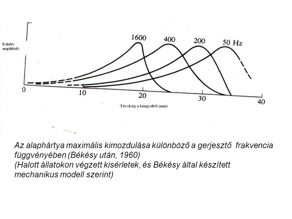 Az alaphártya maximális kimozdulása különböző a gerjesztő frakvencia függvényében (Békésy után, 1960) (Halott állatokon végzett kisérletek, és Békésy által készített mechanikus modell szerint)