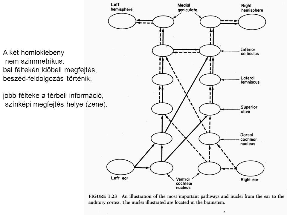 A két homloklebeny nem szimmetrikus: bal féltekén időbeli megfejtés, beszéd-feldolgozás történik, jobb félteke a térbeli információ, színképi megfejtés helye (zene).