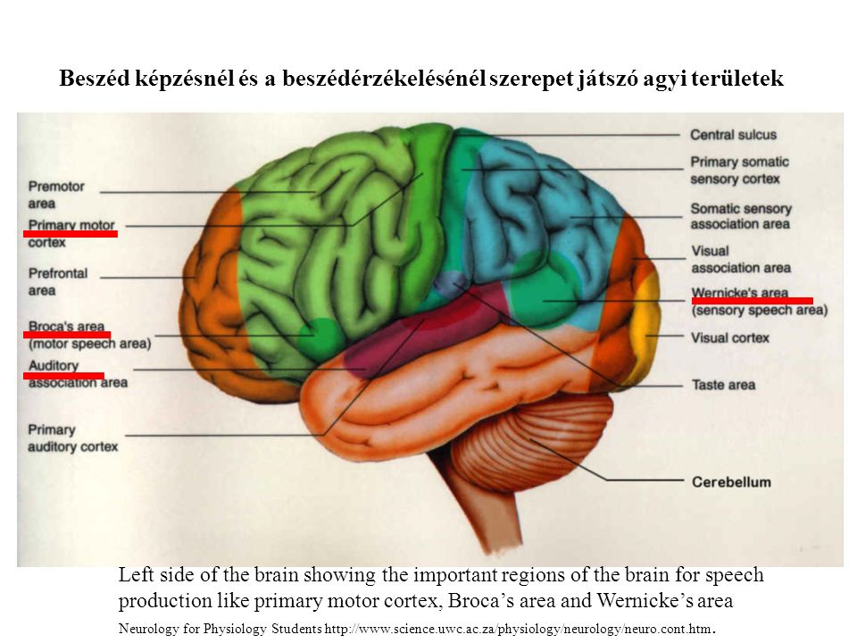 Left side of the brain showing the important regions of the brain for speech production like primary motor cortex, Broca's area and Wernicke's area Neurology for Physiology Students http://www.science.uwc.ac.za/physiology/neurology/neuro.cont.htm.