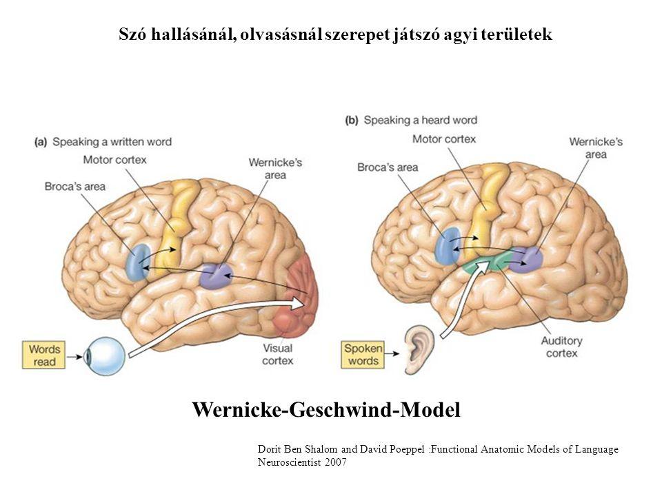 Szó hallásánál, olvasásnál szerepet játszó agyi területek Wernicke-Geschwind-Model Dorit Ben Shalom and David Poeppel :Functional Anatomic Models of L