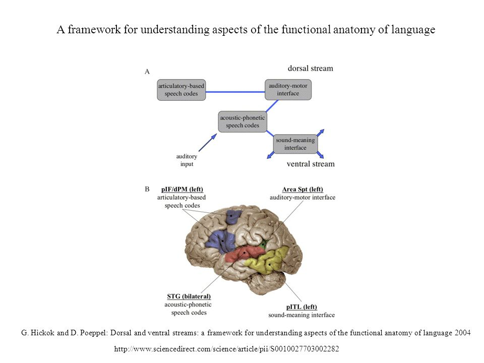 http://www.sciencedirect.com/science/article/pii/S0010027703002282 A framework for understanding aspects of the functional anatomy of language G. Hick