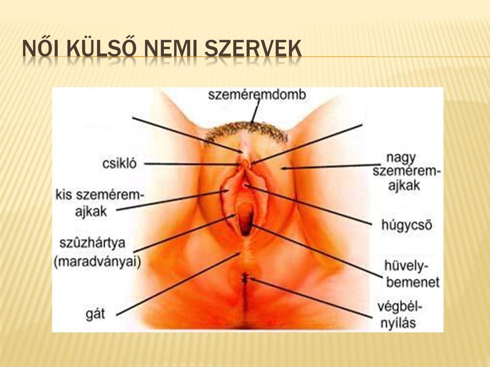  perimetrium  myometrium  Endometrium  Intrauterin  graviditas extrauterina  hysterotomia abdominalis=sectio cesarea  a méh hashártyai borítéka  méhizomzat, a méh izomrétege  Méhnyálkahártya  Méhen belüli  Méhen kívüli terhesség  császármetszés, méh megnyitása hasfalon