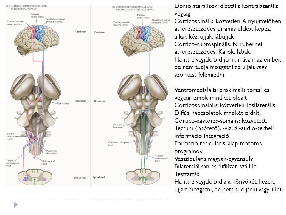 Direkt Indirekt Pálya Putamen  (+) GPi, SNr Putamen  (-) GPe  (-) STN  (+) GPi BG outputra hatás GPi, SNr gátolt GPi stimulált Thalamuson hatás stimuláltgátolt Mozgásra hatás stimuláltgátolt Sérülésekor Parkinson's bradykinesia Huntington's Chorea