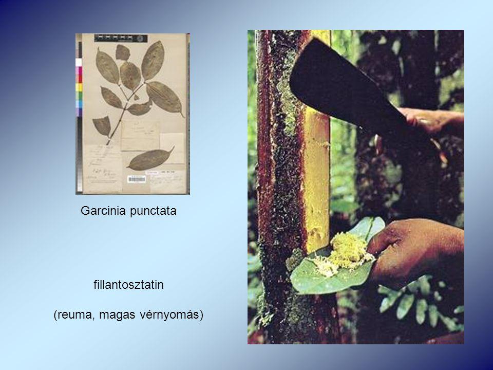 Garcinia punctata fillantosztatin (reuma, magas vérnyomás)
