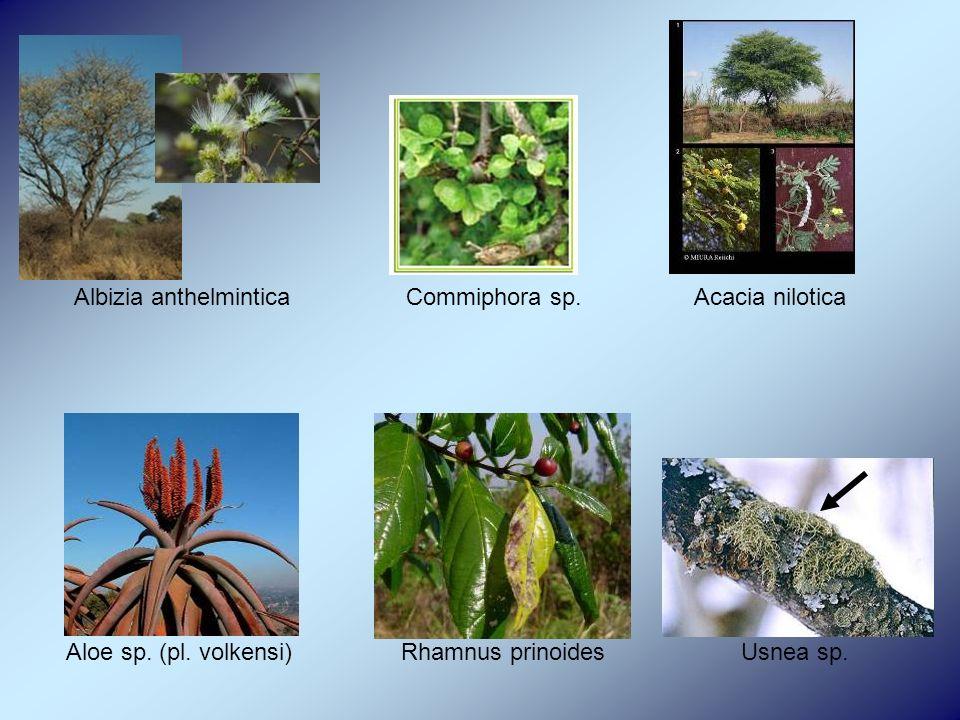 Albizia anthelmintica Commiphora sp. Acacia nilotica Aloe sp.
