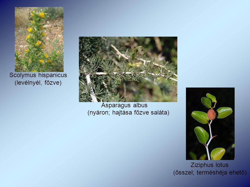 Scolymus hispanicus (levélnyél, főzve) Asparagus albus (nyáron; hajtása főzve saláta) Ziziphus lotus (ősszel; terméshéja ehető)