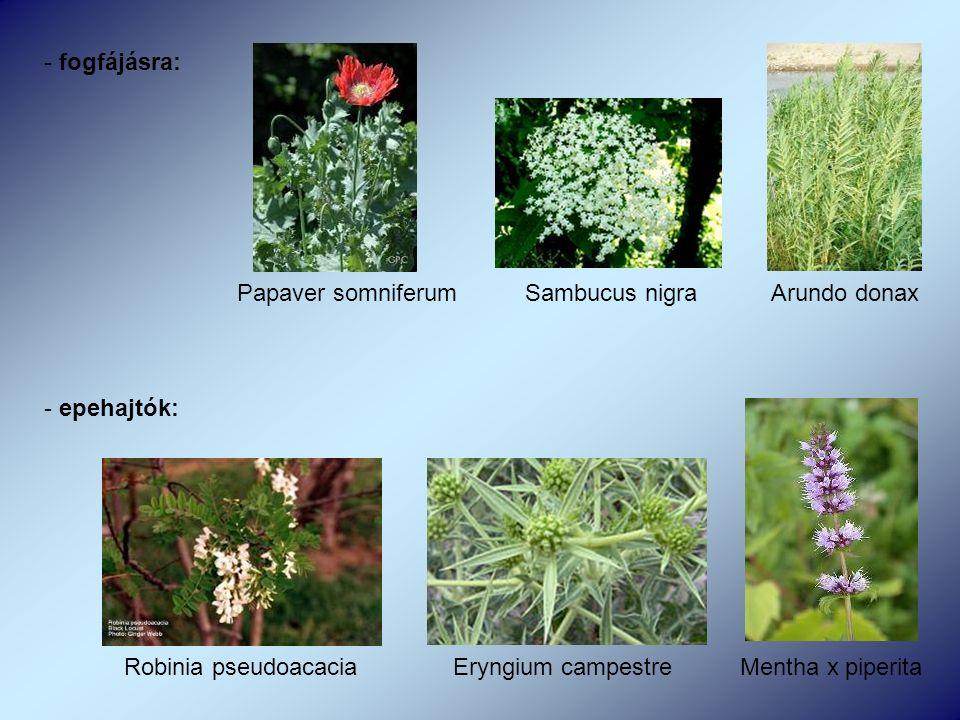 - fogfájásra: Papaver somniferum Sambucus nigra Arundo donax - epehajtók: Robinia pseudoacacia Eryngium campestre Mentha x piperita