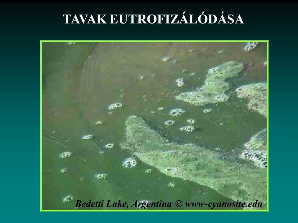 Bedetti Lake, Argentina © www-cyanosite.edu TAVAK EUTROFIZÁLÓDÁSA