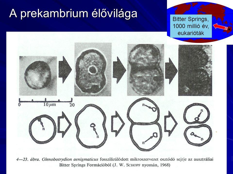 A prekambrium élővilága Bitter Springs, 1000 millió év, eukarióták