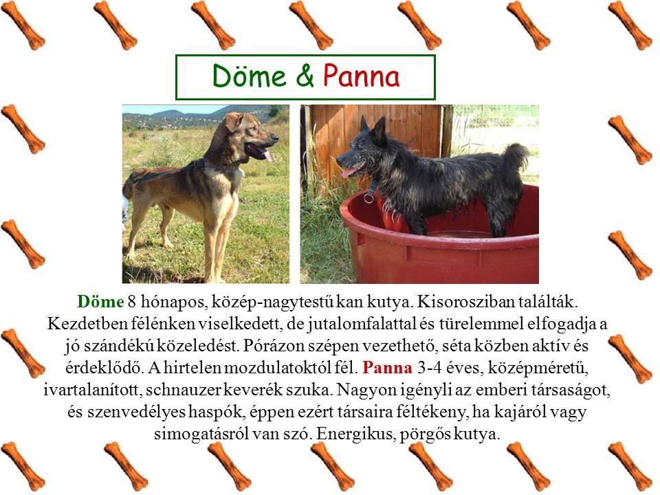 Döme 8 hónapos, közép-nagytestű kan kutya. Kisorosziban találták.