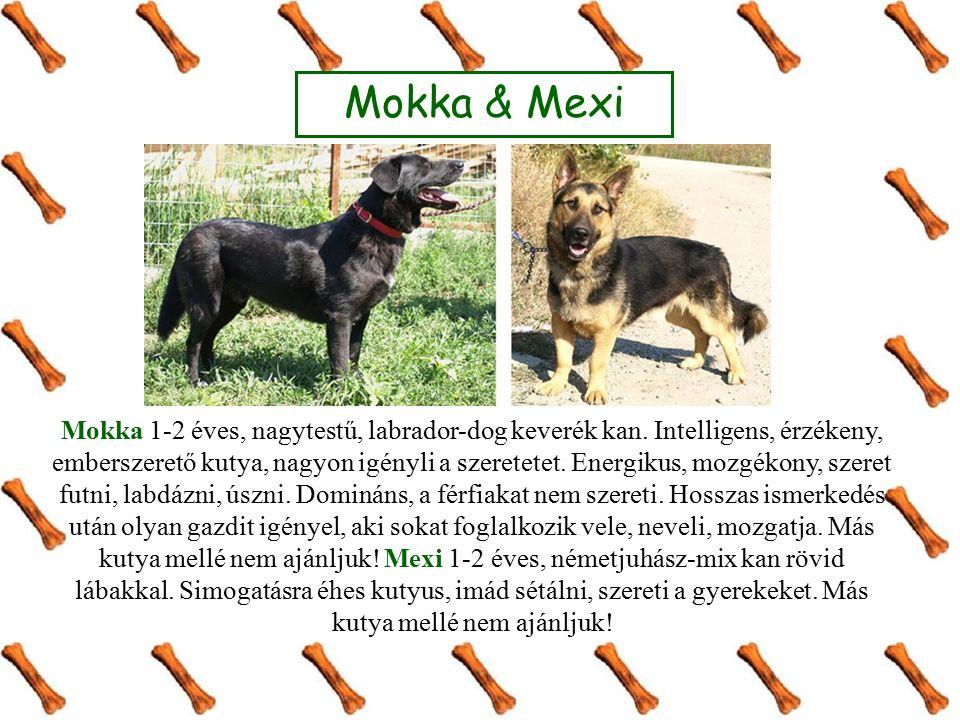 Mokka 1-2 éves, nagytestű, labrador-dog keverék kan.