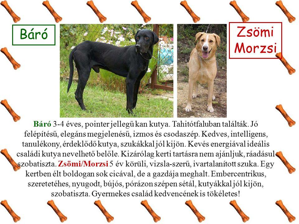 Báró 3-4 éves, pointer jellegű kan kutya. Tahitótfaluban találták.