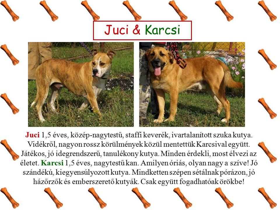 Juci 1,5 éves, közép-nagytestű, staffi keverék, ivartalanított szuka kutya.