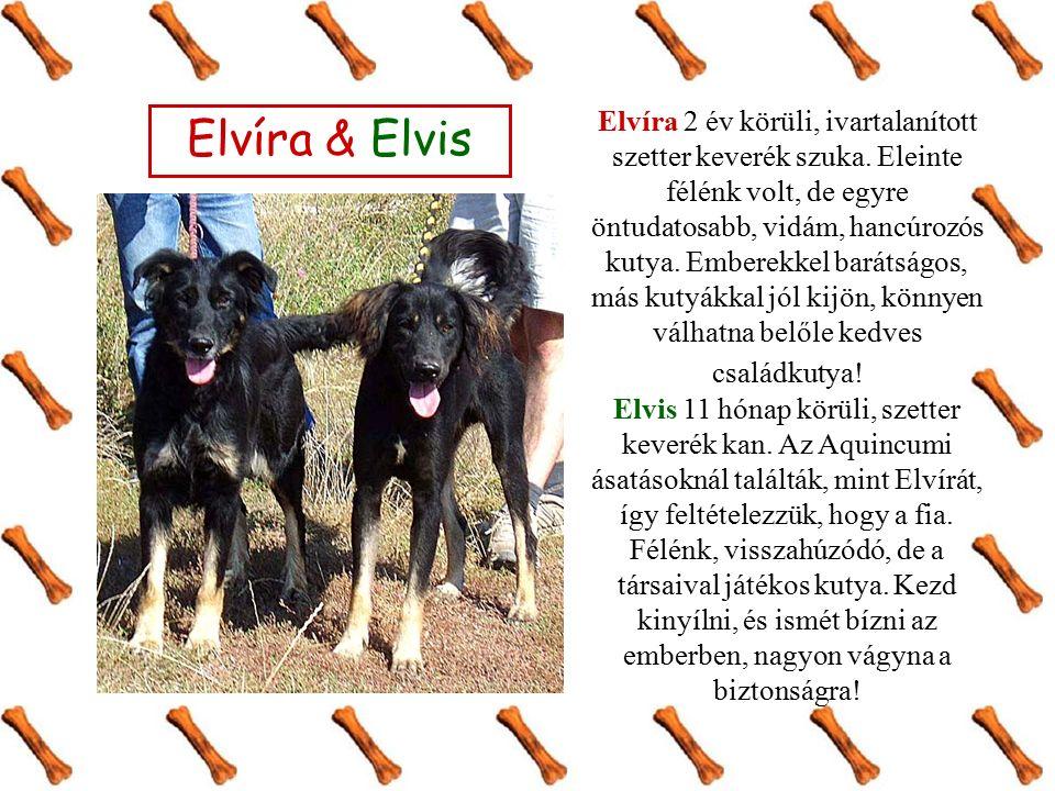 Elvíra & Elvis Elvíra 2 év körüli, ivartalanított szetter keverék szuka.