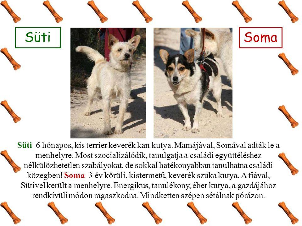 Süti 6 hónapos, kis terrier keverék kan kutya. Mamájával, Somával adták le a menhelyre.