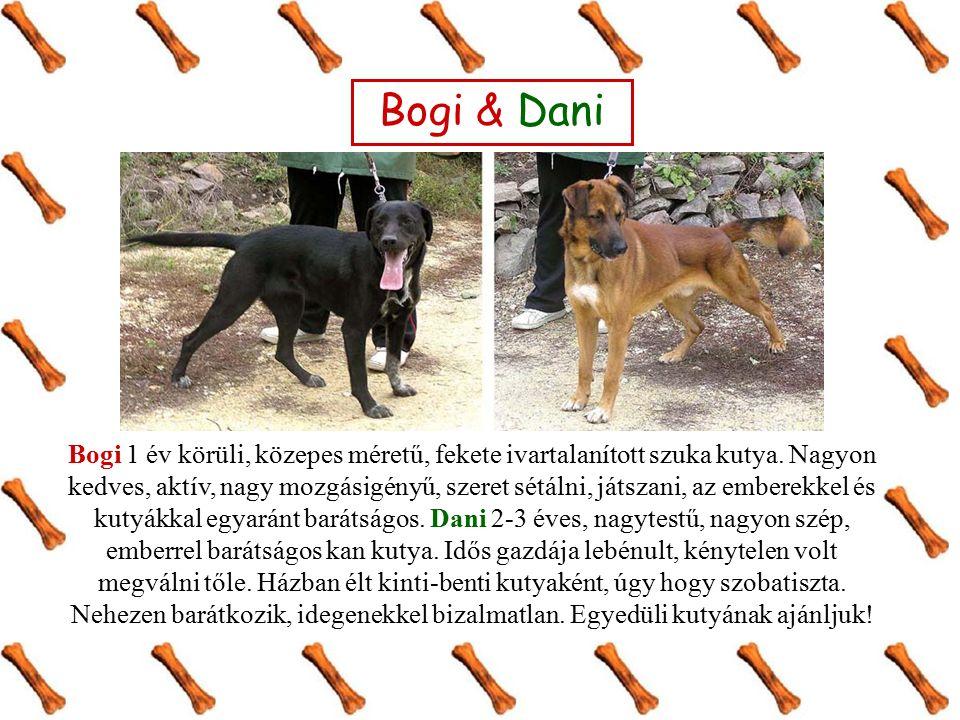 Bogi 1 év körüli, közepes méretű, fekete ivartalanított szuka kutya.