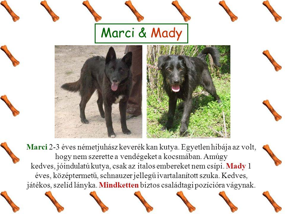 Marci & Mady Marci 2-3 éves németjuhász keverék kan kutya.