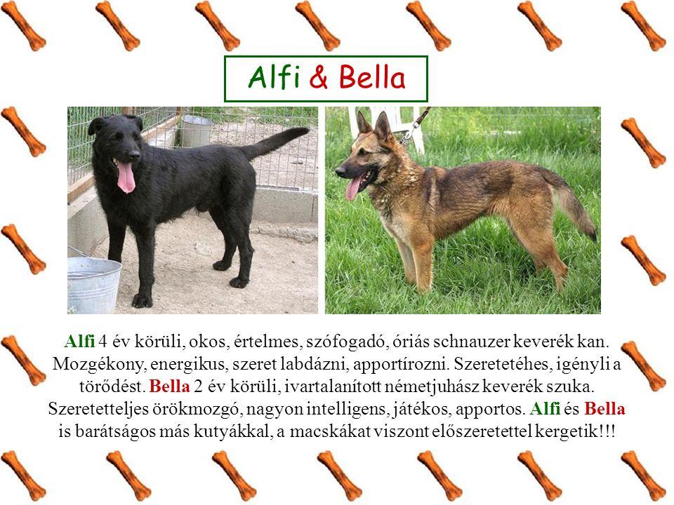 Alfi & Bella Alfi 4 év körüli, okos, értelmes, szófogadó, óriás schnauzer keverék kan.