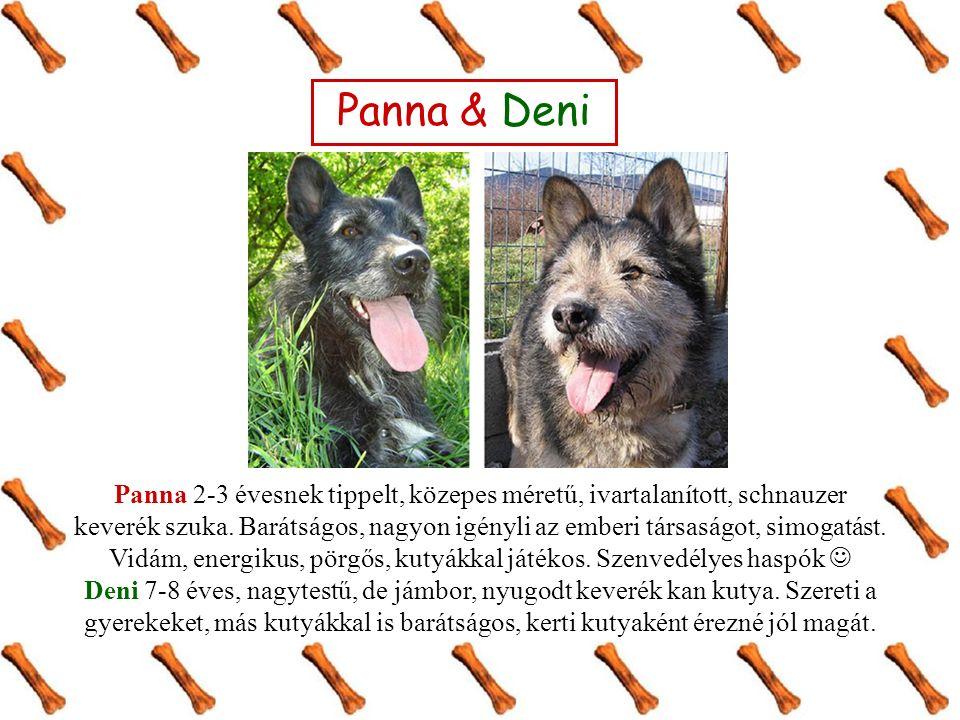 Panna & Deni Panna 2-3 évesnek tippelt, közepes méretű, ivartalanított, schnauzer keverék szuka.