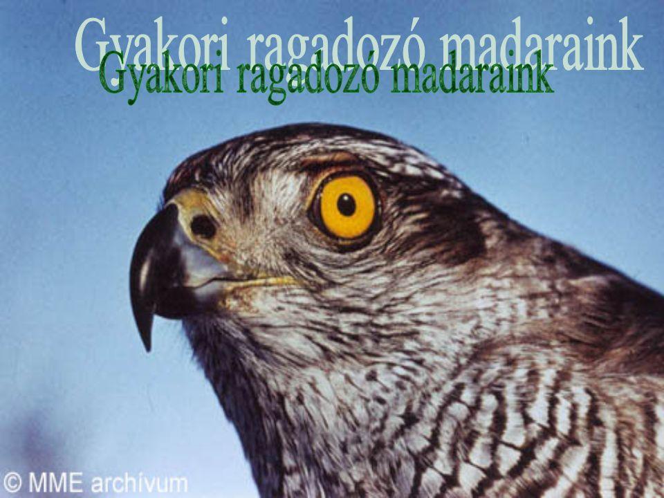 Vörös vércse (Falco tinnunculus) Sólyomfélék családja (Falconidae)