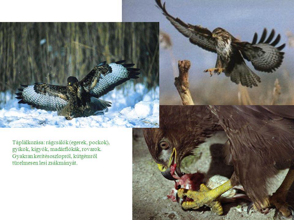 Táplálkozása: rágcsálók (egerek, pockok), gyíkok, kígyók, madárfiókák, rovarok.