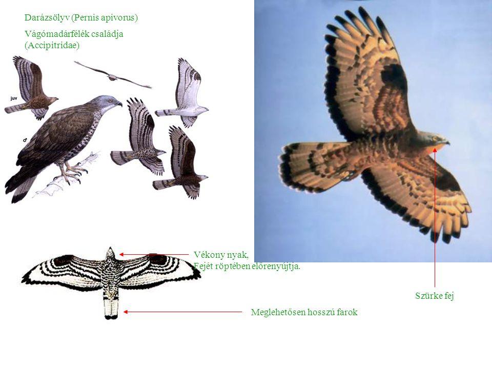 Darázsölyv (Pernis apivorus) Szürke fej Meglehetősen hosszú farok Vékony nyak, Fejét röptében előrenyújtja.