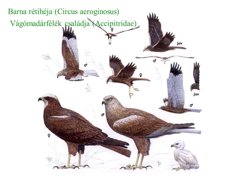 Barna rétihéja (Circus aeroginosus) Vágómadárfélék családja (Accipitridae)