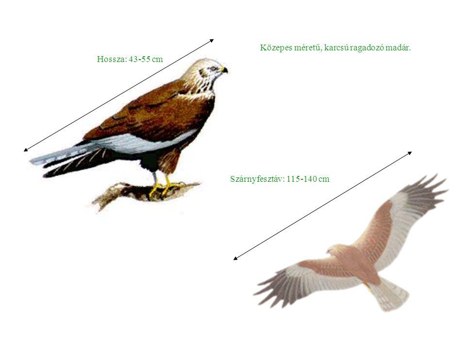 Hossza: 43-55 cm Szárnyfesztáv: 115-140 cm Közepes méretű, karcsú ragadozó madár.