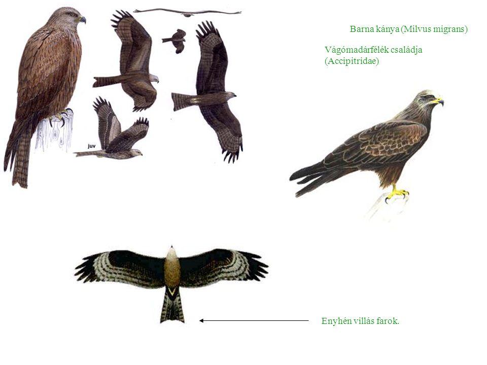 Barna kánya (Milvus migrans) Enyhén villás farok. Vágómadárfélék családja (Accipitridae)