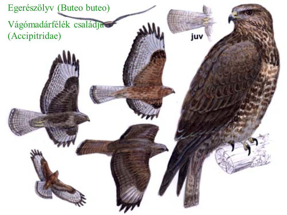 Hossza: ♂: 49-56 cm ♀: 58-64 cm Szárnyfesztáv: ♂: 93-105 cm ♀: 108-120 cm Közepes méretű, erős ragadozó.
