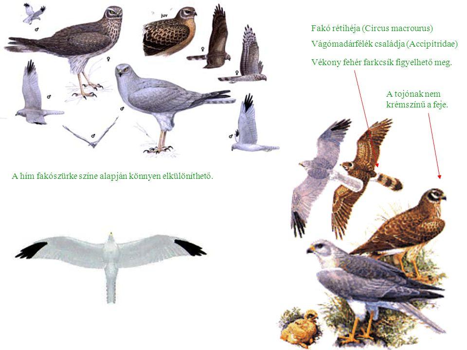Fakó rétihéja (Circus macrourus) A hím fakószürke színe alapján könnyen elkülöníthető.