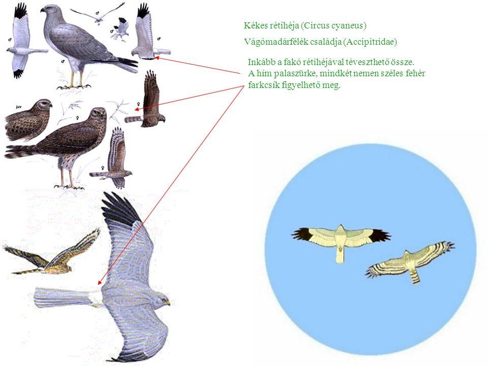 Kékes rétihéja (Circus cyaneus) Inkább a fakó rétihéjával téveszthető össze.